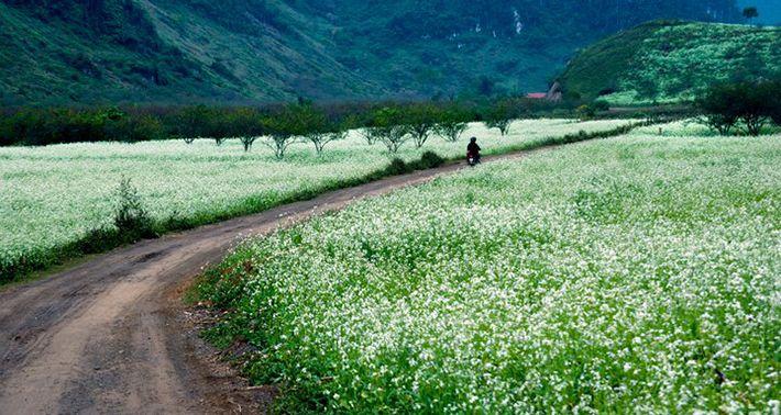 Vẻ đẹp ngỡ ngàng của những cánh đồng hoa cao nguyên Mộc Châu