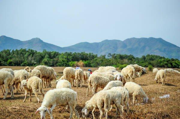 Đồi cừu Suối Nghệ – Điểm chụp ảnh chưa bao giờ hết HOT tại Vũng Tàu