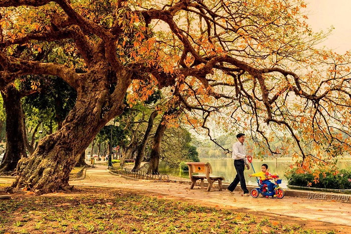 The-beautiful-golden-yellow-leaves-are-spread-out-on-the-path-of-Hanoi