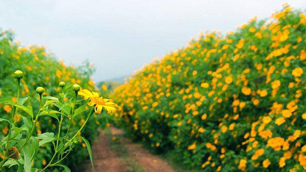 Hoa Dã Quỳ Đà Lạt – Địa điểm ngắm hoa Dã Quỳ đẹp nhất